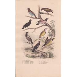 Gravure d'Oiseaux, Pl 18  - 1 Le Pique Boeuf - 2 L'Etourneau vulgaire - 6 Le Troupial - 4 Le Commandeur- 5