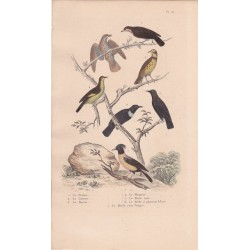 Gravure d'Oiseaux, Pl 20 - 1 La Draine - 2 La Litorne - 3 Le Mauvis - 4 Le Moqueur - 5 Le Merle noir - 6 Le Merle ... ...