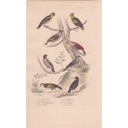 Gravure d'Oiseaux, Pl 22 - 1 Le Gros bec - 2 Le Bec croisé - 3 Le Cardinal huppé - 4 Le Grivelain - 5 Le Moineau - ...