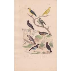 Gravure d'Oiseaux, Pl 23 - 1 Le Serin de Provence - 2 Le Serin des Canaries - 3 Le Tarin - 4 Le bengali piqueté -  ...