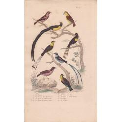 Gravure d'Oiseaux, Pl 24 - 1 Le Pinson - 2 Le Pinson des Ardennes - 3 La Veuve à collier d'or - 4  ...