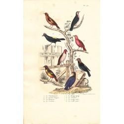 Gravure d'Oiseaux, Pl 25 - 1 Le Chardonneret - 2 Le Grand Tangara - 3 La Houpette - 4 Le Scarlatte - 5 Le Rouge ... ..