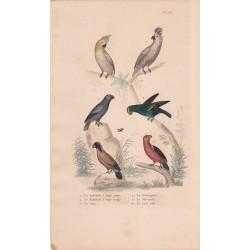 Gravure d'Oiseaux, Pl 35 - 1 Le Kakatoès à hupe jaune ...- 3 Le Jaco - 4 Le Perroquet - 5 Le Mascarin - 6 Le Lori noir