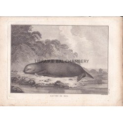 "Gravure n° 43 - "" Loutre de mer "" - A Voyage to the Pacific Ocean [Third Voyage]"